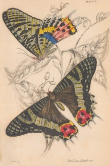 African Sunset moth (Tthaliura rhipheus) Upper and underside.