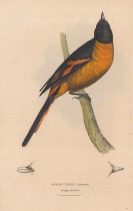 Redbird: Phaenicornis flammeus. Orange redbird from Southern India. With detail of beak.