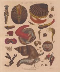 Helminthology: Testaceous. Cardium echinata (1-3) and Buccium udatum (11) with other univalves and bivalves.