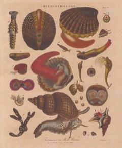 "Wilkes: Helminthology. 1811. An original hand coloured antique copper engraving. 8"" x 11"". [NATHISp8093]"