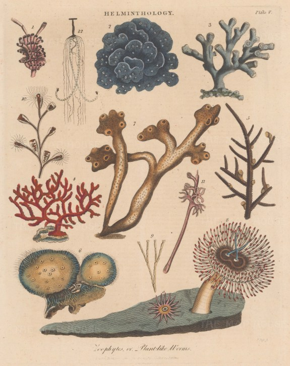 Helminthology: Zoophytes. Spongia ossiformis (7) and Tubularia magnifica (8) with other corals.
