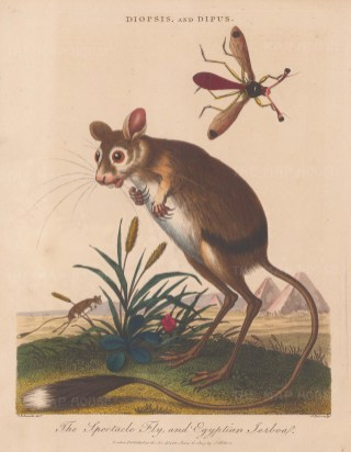 Egyptian Jerboa: With a Spectacle (stalked eye) Fly and Pyramids in the background.