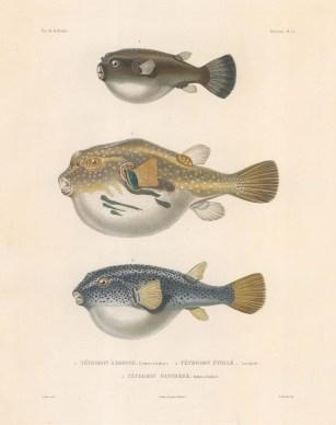Pufferfish: Dogface (Tetrodon A Brosse), Starry (Tetrodon Etoile) and Panther (Tetrodon Panthere).