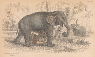 "Jardine: African Elephant 1843. An original hand coloured antique lithograph. 6"" x 4"". [NATHISp8101]"