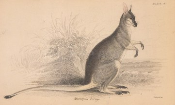 """Jardine: Whiptail Wallaby. 183. An original hand coloured antique lithograph. 6"""" x 4"""". [NATHISp8113]"""