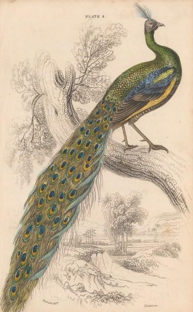 "Jardine: Peacock. 1843. An original hand coloured antique lithograph. 6"" x 4"". [NATHISp8122]"