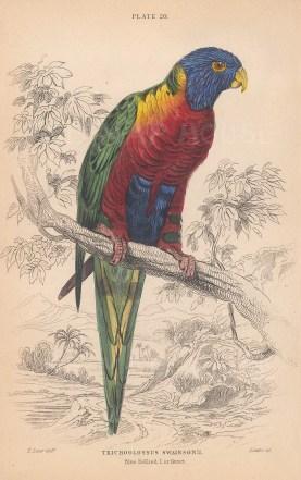 "Jardine: Blue Bellied Lorikeet. 1843. An original hand coloured antique lithograph. 6"" x 4"". [NATHISp8126]"