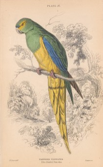 "Jardine: Blue Banded Parrakeet. 1843. An original hand coloured antique lithograph. 6"" x 4"". [NATHISp8127}"