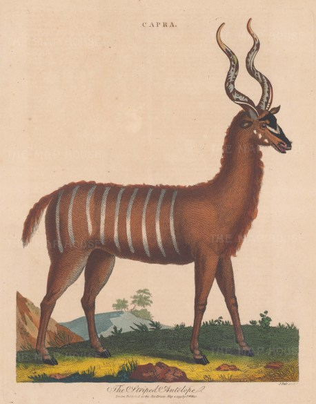 """Wilkes: Oryx Antelope. 1810. An original hand coloured antique copper engraving. 8"""" x 11"""". [NATHISp8151]"""