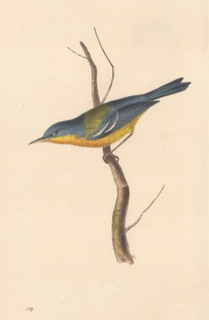 """Swainson: Grey backed Warbler. 1833. An original hand coloured antique lithograph. 6"""" x 9"""". [NATHISp8155]"""