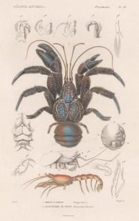 Crab: Cocunt Crab (Birgus latro) with a Hermit crab (Glaucothoe peroni).