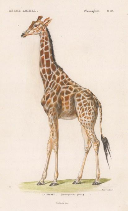 """d'Orbigny: Giraffe. 1849. A hand coloured original antique lithograph. 6"""" x 9"""". [NATHISp8163]"""