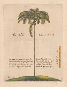 """Ligon: Palm Tree. 1673 A handcolourd original antique copper engraving. 6"""" x 8"""". [NATHISp7878]"""