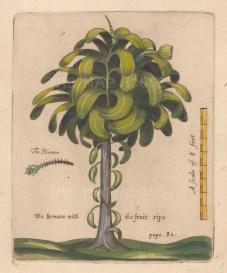 """Ligon: Banana Tree. 1673 A handcolourd original antique copper engraving. 6"""" x 8"""". [NATHISp7882]"""
