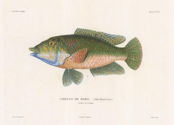 Rudderfish (Gierlle de Bory): Tahiti. After Antoine Bevalet artist on the corvette la Coquille.
