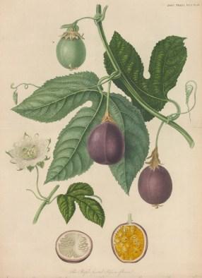 """RHS: Passiflora edulis. 1835. An original colour antique mezzotint. 10"""" x 14"""". [NATHISp6723]"""