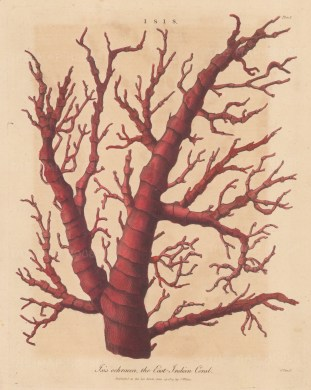 East Indian Coral (Isis ochracea). After Albertus Seba, engraved by John Pass.