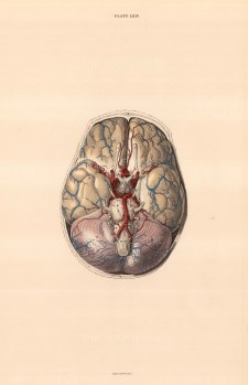"""William Home Lizars, Brain dissection showing blood vessels. Plate LXIV. c.1822. An original colour steel-engraving. 10"""" x 17"""". £POA."""