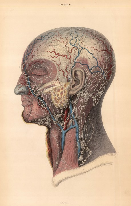 """William Home Lizars, Vascular system of the head, Plate C. c.1822. An original colour steel-engraving. 10"""" x 17"""". £POA."""