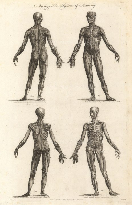 Charles Cooke, (2) 'Myology - The System of Anatomy', 1789. An orignal black and white copper-engraving.