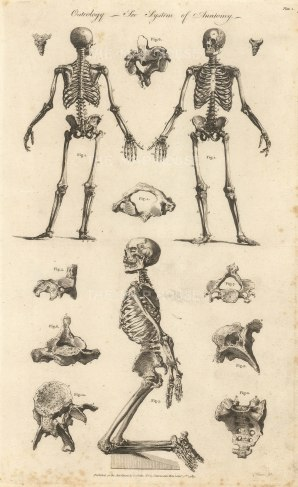 Cooke: The Skeleton, 1789. An original copper-engraving. 9 x 14 inches. [NATHISp7284]