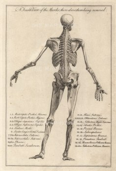 """Dr. Motherby, (1) 'A Fourth View of the Muscles', 1775. An original copper-engraving. 7"""" x 12""""."""