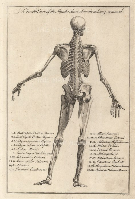Dr. Motherby, (1) The Muscles, 1775. Original copper-engraving. 7 x 12 inches. [NATHISp7291]