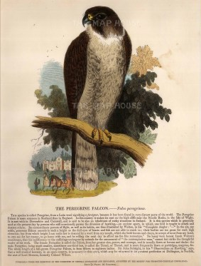 The Society for the Promotion of Christian Knowledge: Peregrine Falcon. Circa 1860. A hand-coloured original wood-engraving. 10 x 12 inches. [NATHISp6610]