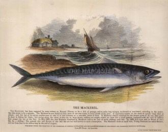 The Society for the Promotion of Christian Knowledge: Mackerel. circa 1860. A hand-coloured original wood-engraving. 12 x 10 inches. [NATHISp5617]