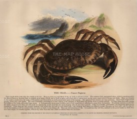The Society for the Promotion of Christian Knowledge: Crab. c.1860. A hand-coloured original wood-engraving. 12 x 10 inches. [NATHISp5871]