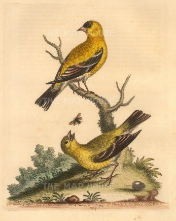 George Edwards: Goldfinch. 1760. A hand-coloured original etching. 8 x 10 inches. [NATHISp7228]
