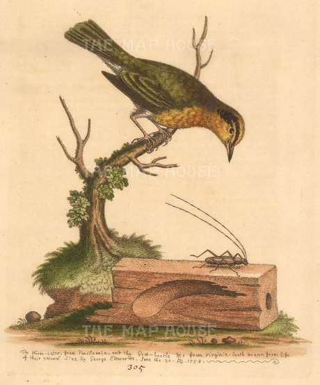 George Edwards: Warbler. 1764. A hand-coloured original etching. 8 x 10 inches. [NATHISp7233]