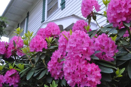 Rhododendron in the front of Prism House