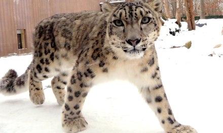 Northeast Precast Creates Home for Snow Leopards