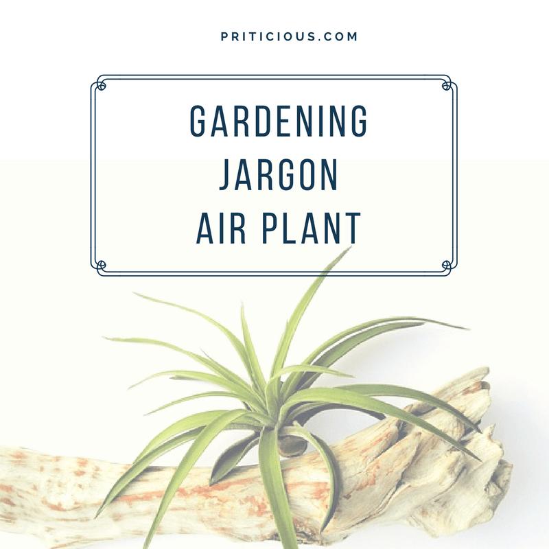 Gardening Jargon – Air Plant