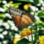 … butterfly …
