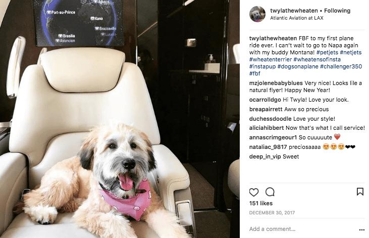 Wheaten terrier aboard a Bombardier Challenger 350