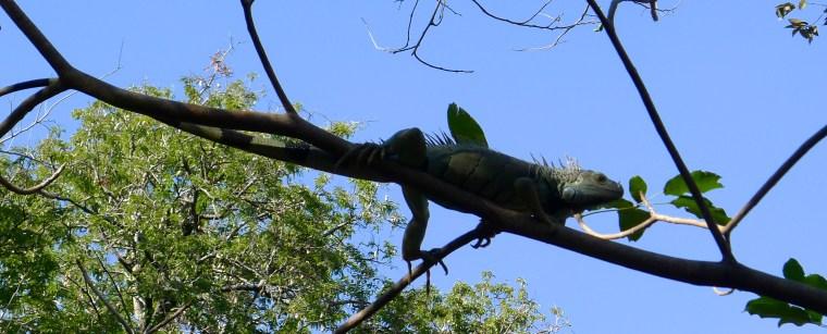 lounging iguana
