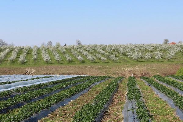 Bosnaplod: U Ovoj Godini Otkupljeno 4.000 Tona Voća Od Domaćih Proizvođača