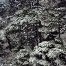 Huangshan Pine Fullmoon