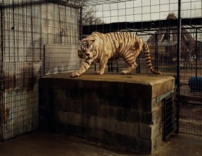 White Tiger (Kenny), Selective Inbreeding, Turpentine Creek Wildlife Refuge and Foundation, Eureka Springs, Arkansas