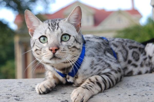 Kucing Bengal warna silver