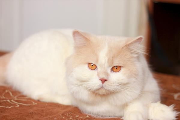 Kucing Harlequin