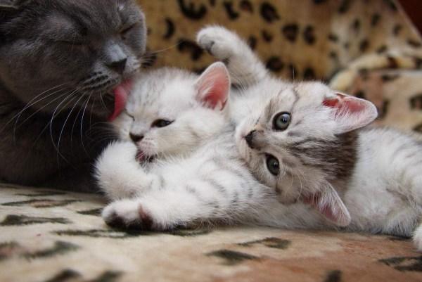 Anak kucing dengan ibu
