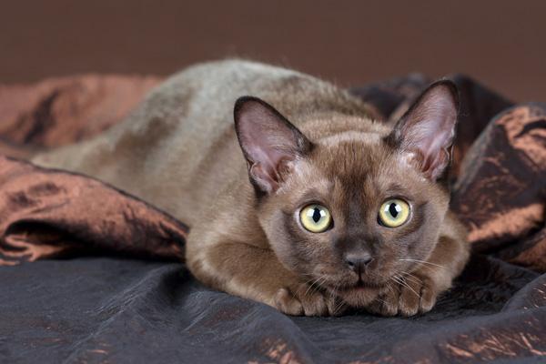 Kucing mewah abu-abu
