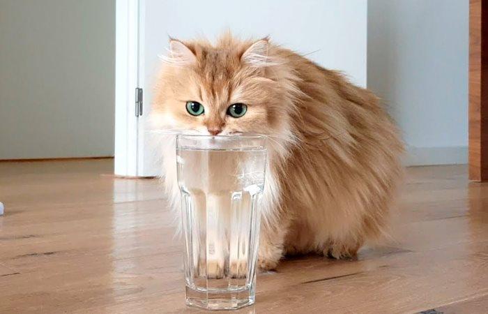 Kucing licik minum air dari gelas