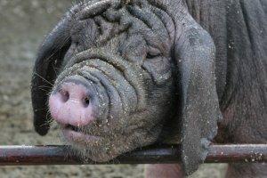Картинки по запросу вьетнамских свиней