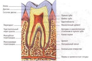 У какого зуба самый длинный корень. Подробная схема строения зуба человека. Видео — Строение зуба. Виды и функции зубов