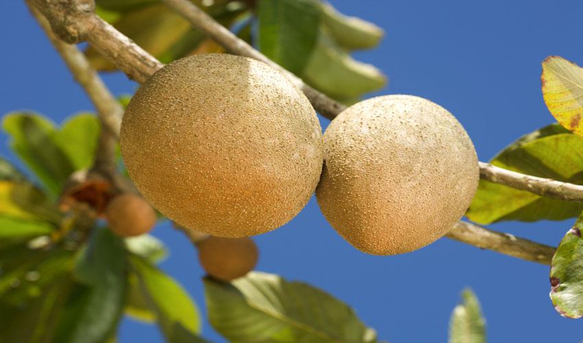 Экзотическое растение Лукума