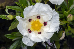 61151204 - gum rockrose, cistus ladanifer, flower, close up